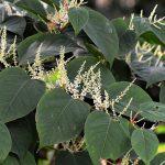 CDA: actie tegen woekerplant Japanse duizendknoop